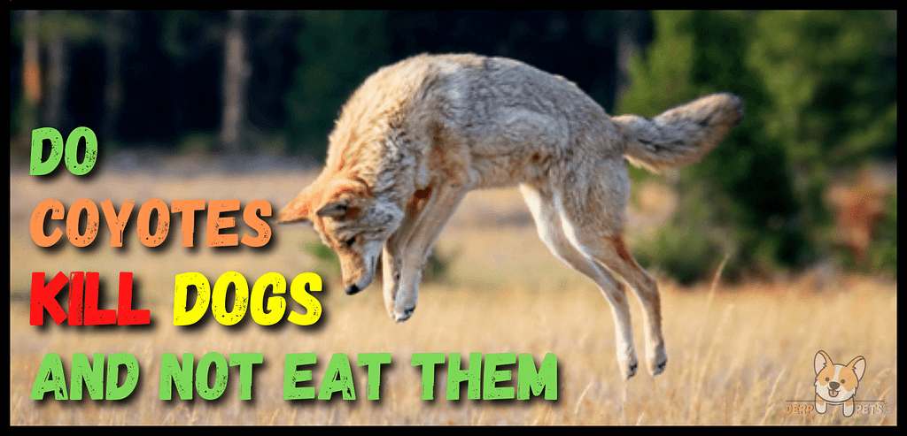 Do Coyotes Kill Dogs And Not Eat Them
