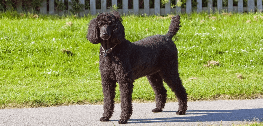 Are poodles good farm dogs