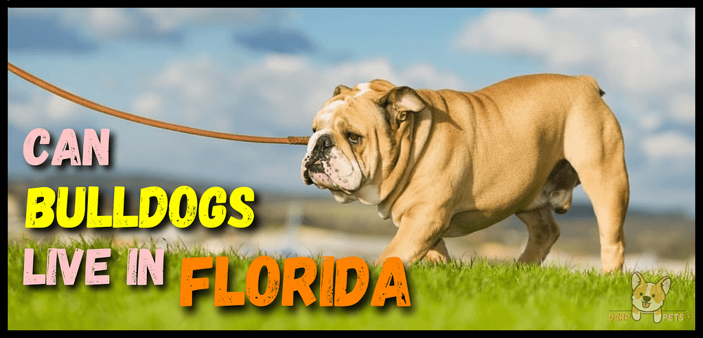 Can Bulldogs Live In Florida