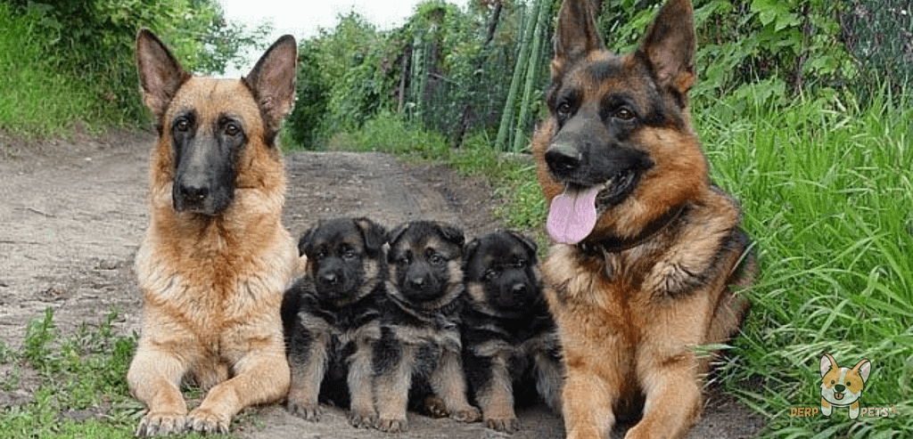 Do German Shepherds Kill Their Puppies