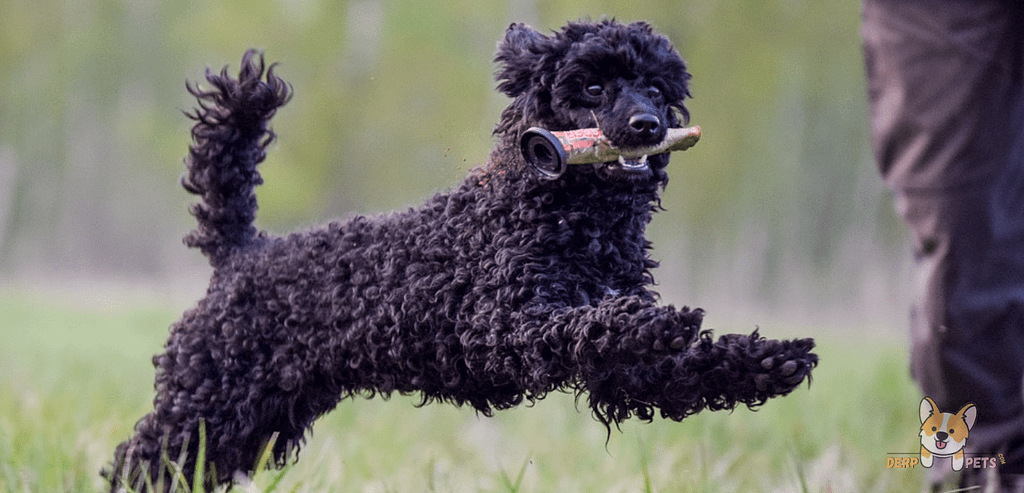Why Are Poodles Non-Sporting.