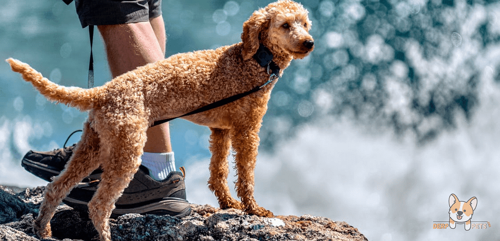 Why Are Poodles Non-Sporting