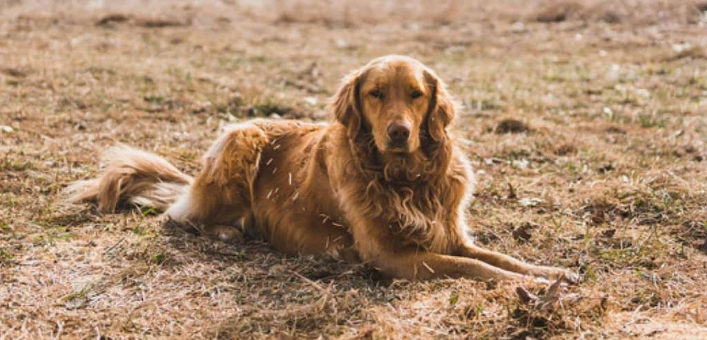 Can Golden Retriever tolerate hot weather