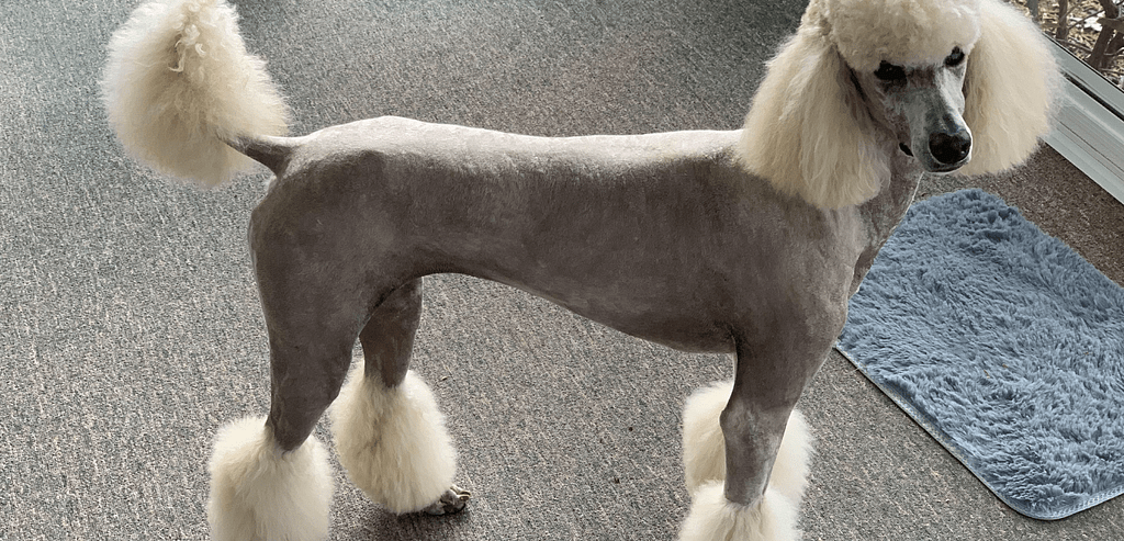 Do Poodles Get Hot With Long Hair