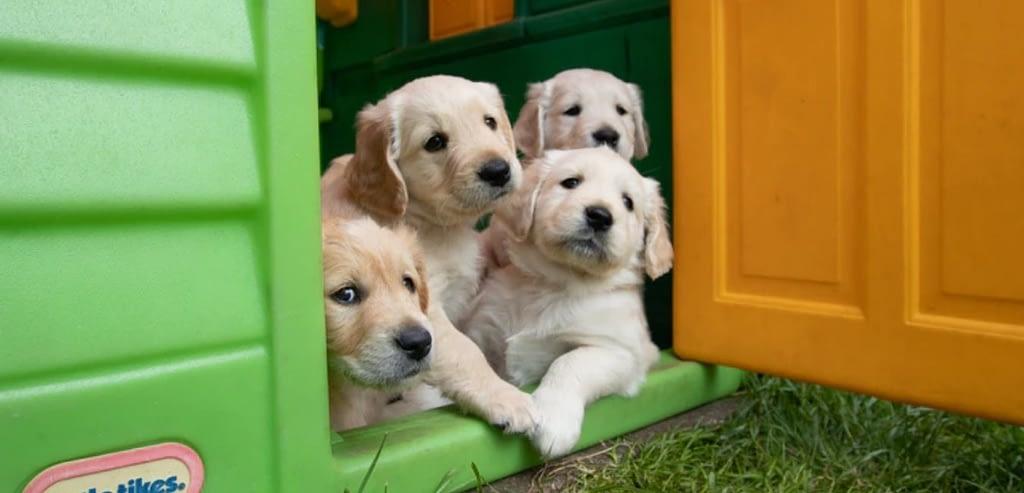 Golden Retriever Harness Guide Puppy, Adults