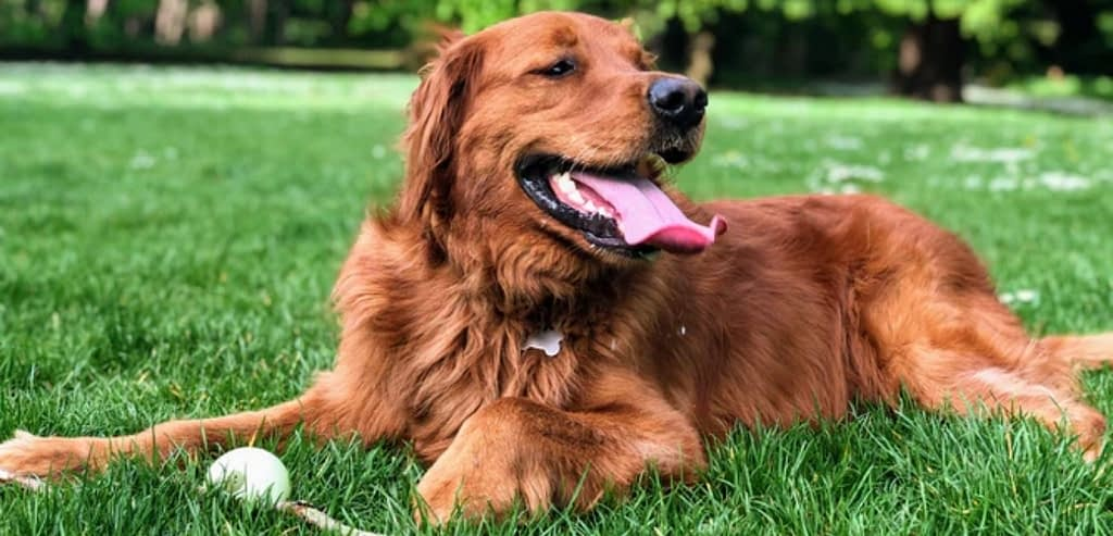 Why does my golden retriever breathe so fast