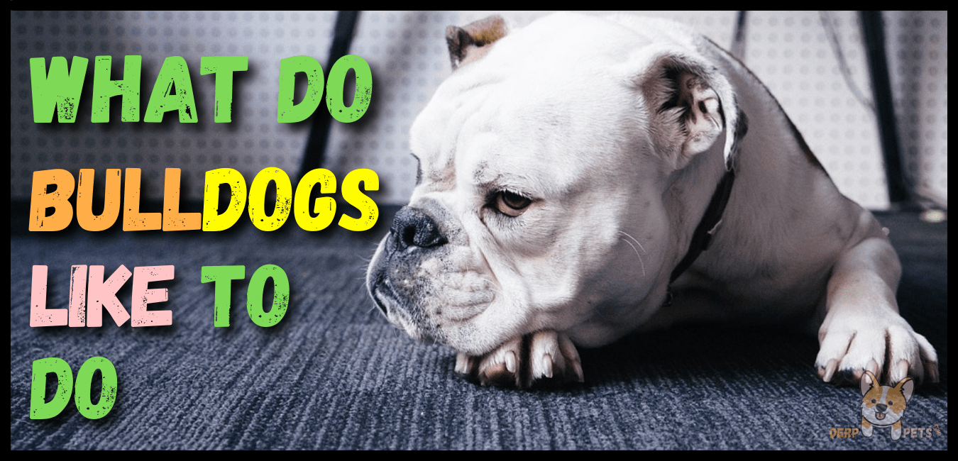 What do bulldogs like to do