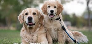 Are Golden Retrievers Independent