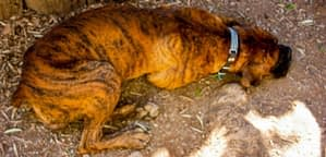 Dogs That Look Like A Tiger