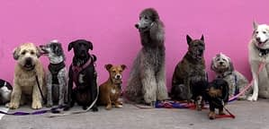Fluffy Dog Breeds That Don't Shed