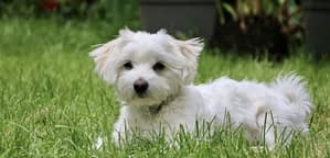 Small White Curly Haired Dog Breeds