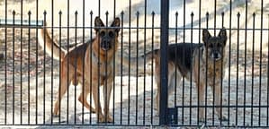 Guard Dog Breeds That Can Be Left Alone At Home