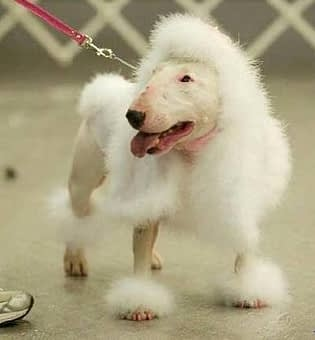 Bull Terrier and poodle mix