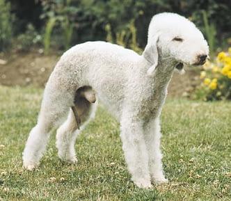 Bedlington Terrier and poodle mix