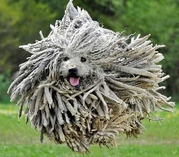 Commodores & Puli and poodle mix