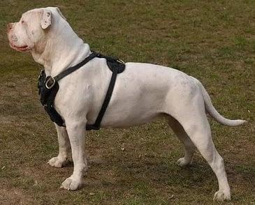 American Bulldog derppets.com -min