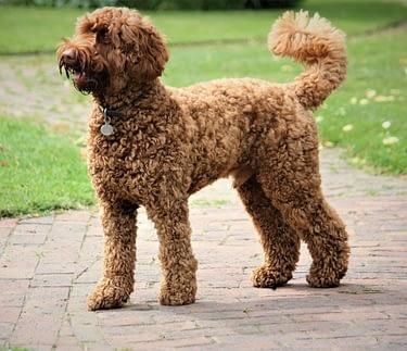 Poodle Crossbreed
