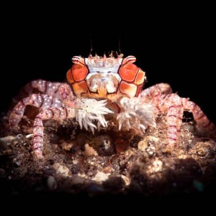 Pom-Pom Anemone Crab (boxer crab)