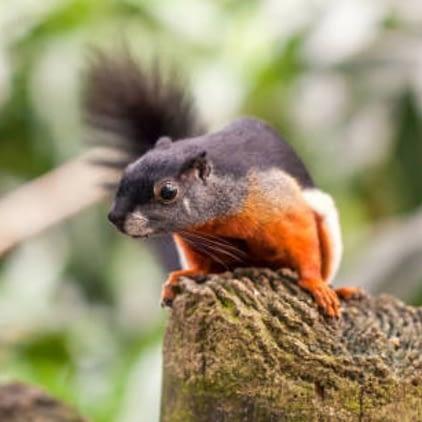 Prevost Squirrel