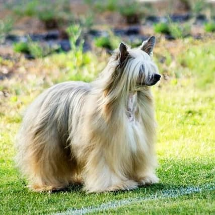 Chinese Crested Powderpuff (Long-haired)