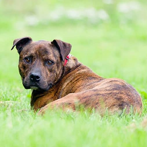 American Staffordshire terrier tiger dog