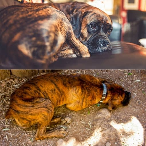 boxer tiger dog