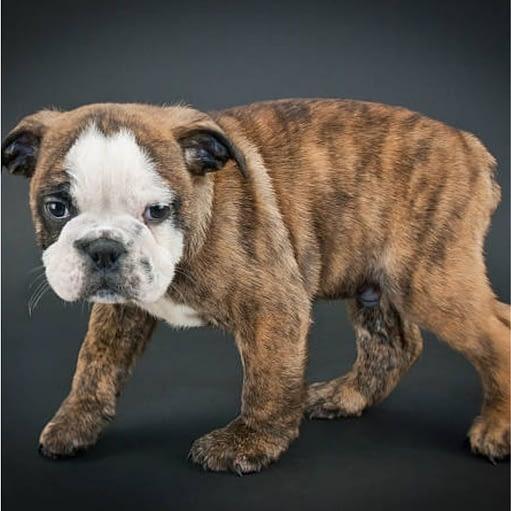 English Bulldog tiger dog