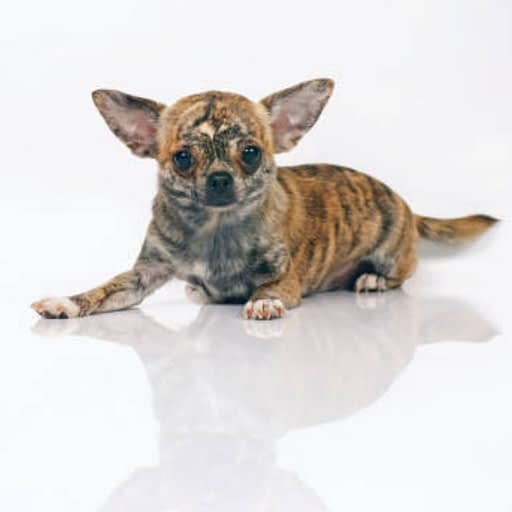 chihuahua that looks like a tiger