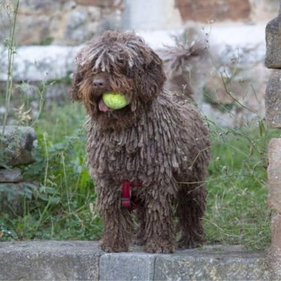 Spanish Water Dog