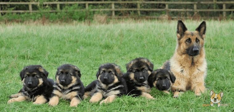 Do German Shepherds Kill Their Puppies.