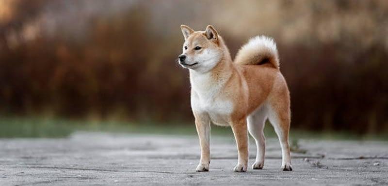 Akita Guard Dog